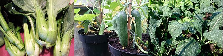 Skörd av pak choi. I växthuset växer en gurkplanta och svartkål i bädd.