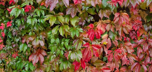 Engelmansvin (Parthenocissus quinquefolia var. engelmannii)