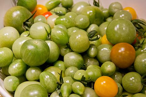 Skörd av gröna tomater