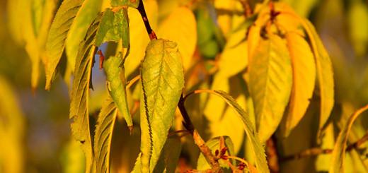Glanskörsbär Prunus serrula
