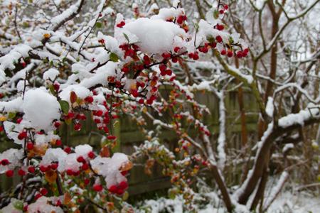 Cotenaster i vinterskrud