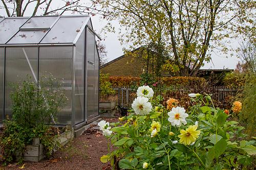 Dahlior och växthus