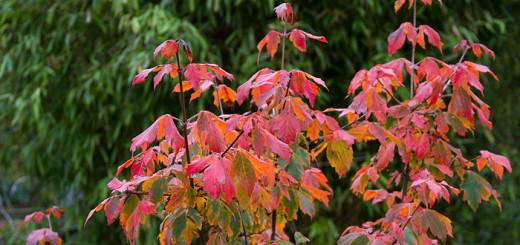 Kopparlönn Acer griseum