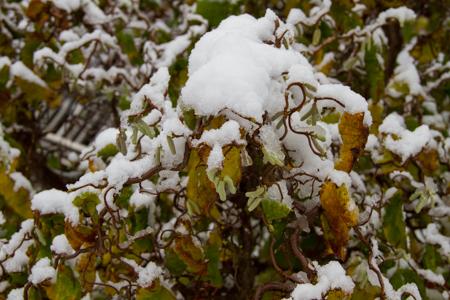Ormhassel i vinterskrud