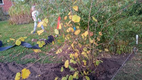 Plantering solitär buskar