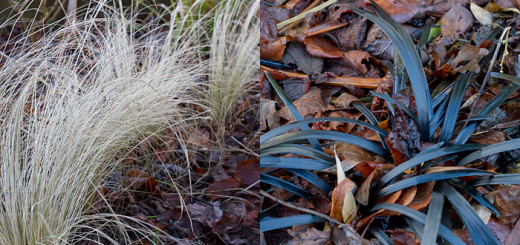 Black and White Ophiopogon planiscapus 'Nigrescens' nassella tenuissima
