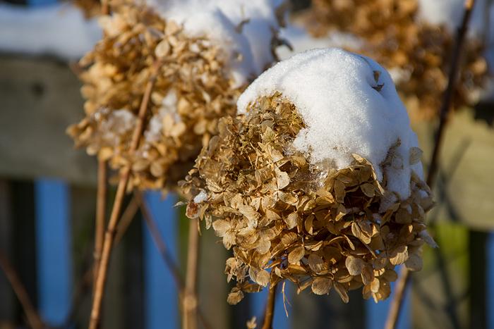 Snö och sol_hortensia