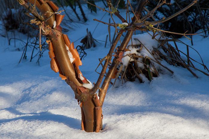 Snö och sol_kopparlönn