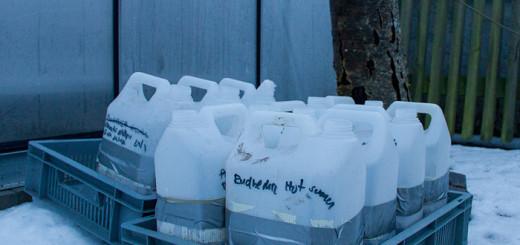 Vintersådd plastdunkar winter sowing