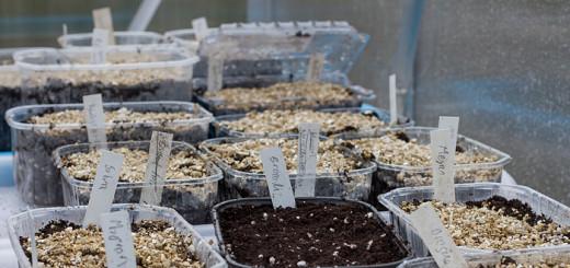Vintersådd grönsaker växthus, Winter sowing