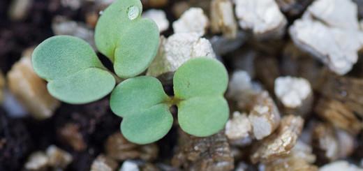 Vintersådd grönsaker växthuset winter sowing