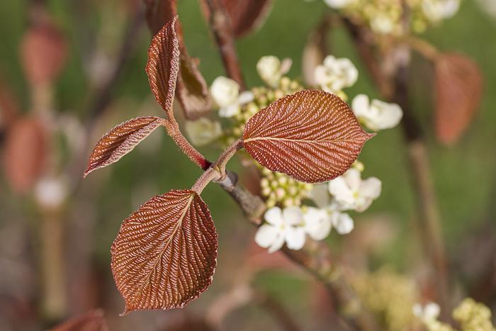 Japanskt gaffelolvon Viburnum furcatum