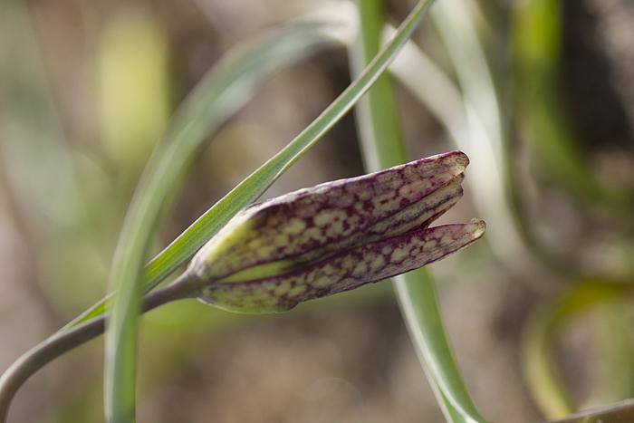 Kungsängslilja Fritillaria meleagris Snake's head fritillary