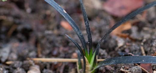 Ormskägg Ophiopogon planiscapus 'Nigrescens'