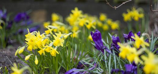 Påskliljor têtê-têtê Narcissus Cyclamineus