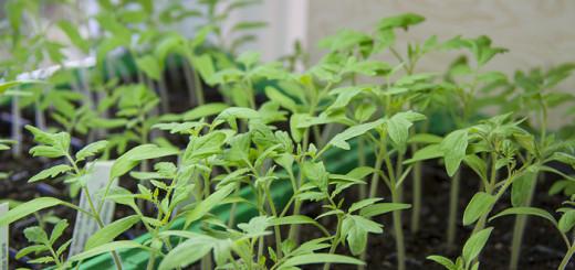 Tomatplantor Tomato seedlings