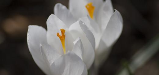 Vita krokus white crocus