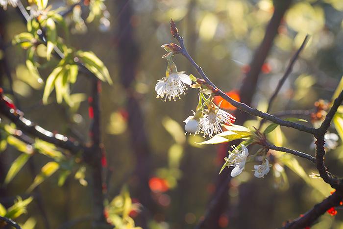 Glanskörsbär brinner