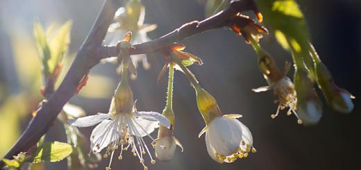Glanskörsbär morgonljus Prunus serrula