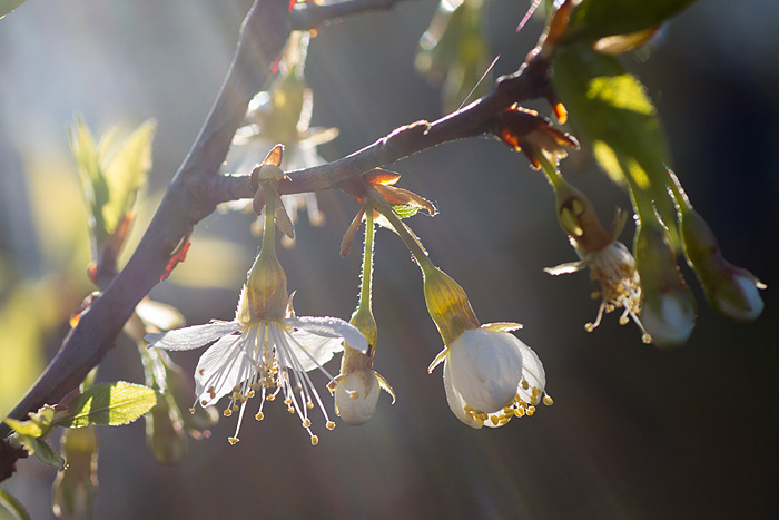Glanskörsbär morgonljus