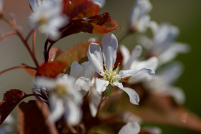 Häggmispel blomma