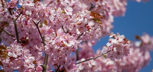 Prunus sagentii prydnadskörsbär