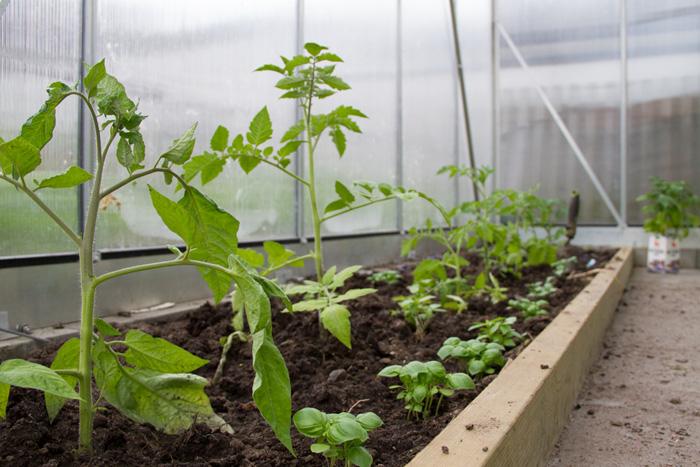 Tomater och basilika-1