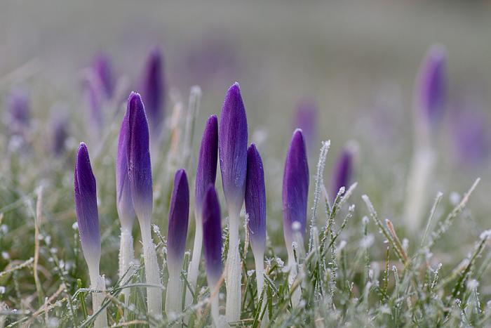 krokus frost20160229-1