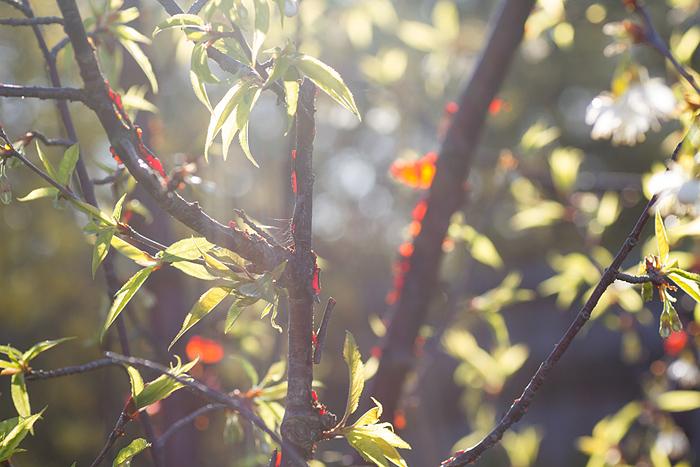 Glanskörsbär