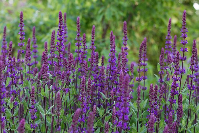 Salvia caradonna-1