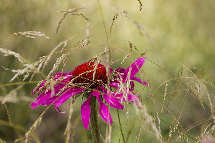 Echinacea rosa och gräs-1