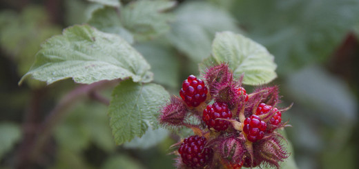 Japanska vinhallon Rubus phoenicolasius