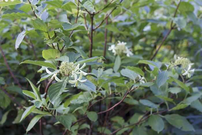 Hydragena paniculata-1