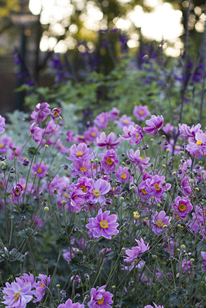 anemone-1