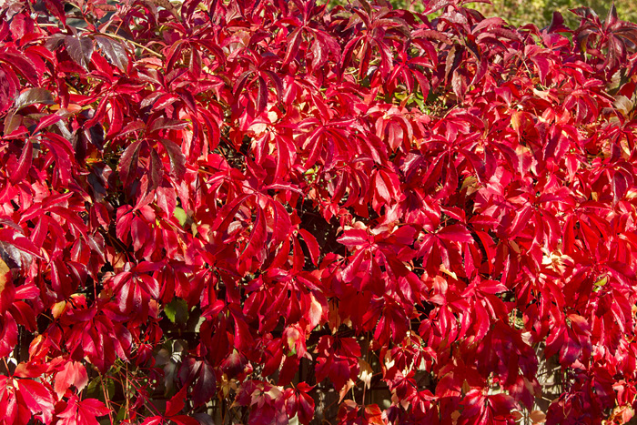 Engelmansvin rött röttt -1