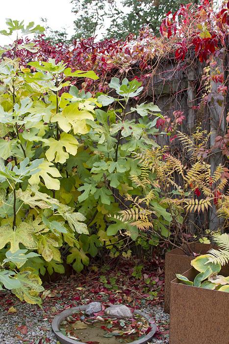 Engelmansvin tappat löven-1