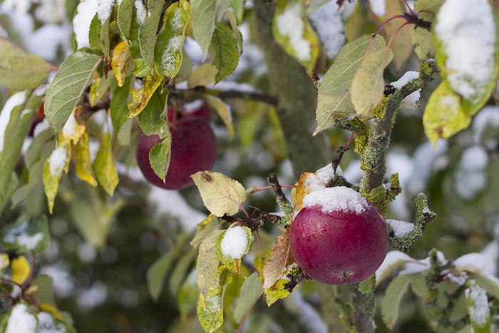 Äppleträdet-1