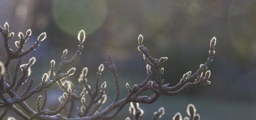 Magnolia nu 2-1