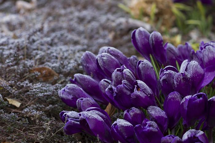 Lila krokus frost-1