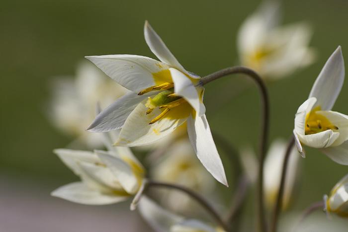 Botaniska tulpaner (1 of 1)