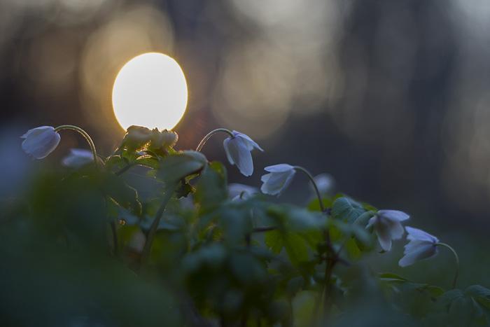 Vitsippor solnedgång-1