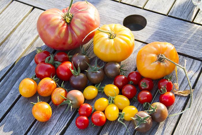 tomater olika sorter-1