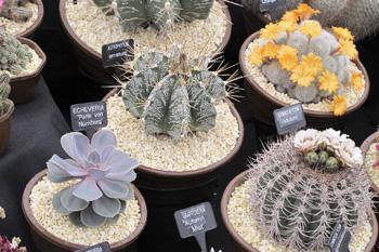 Kaktusar-2366